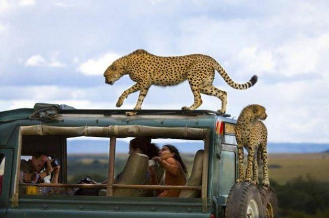 У кенійському сафарі-парку Масаї-Мара тварини не бояться людей і з задоволенням
