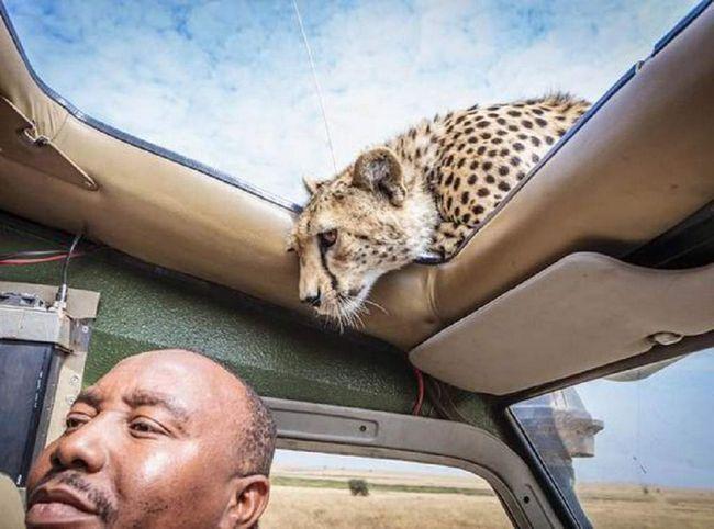 Туристи були в подиві від гостинності звірів Масаї-Мара.