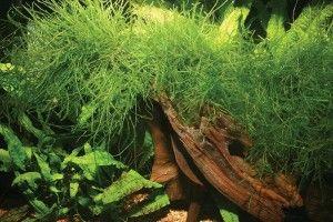 Невибагливі акваріумні рослини