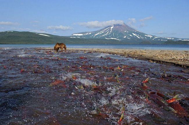 Нерест нерки на Курильском озері