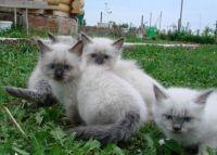 Невські маскарадні кошенята