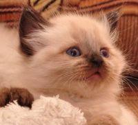 невський кошеня