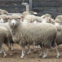 Незаразні хвороби овець