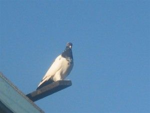 Ніжинські голуби