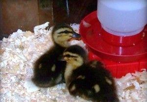 Вирощування качок в домашніх умовах