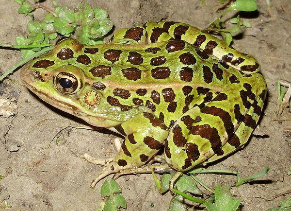 леопардова жаба