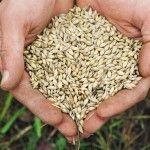 Норма висіву пшениці озимої