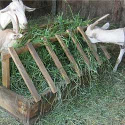 Норми і раціон годування кіз в домашніх умовах