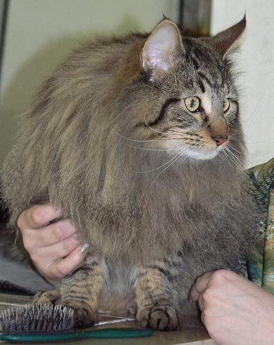 Норвезька лісова кішка (Norw. Forest Cat), порода напівдовгошерстих кішок.