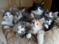норвезькі кошенята