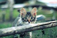 норвезький кошеня