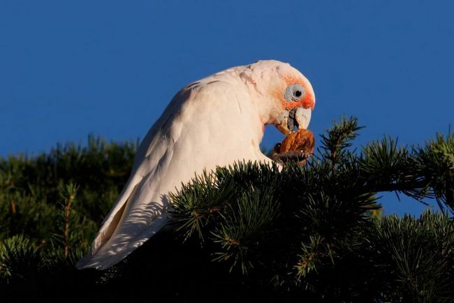 Носаті какаду ніжні і допитливі птиці.