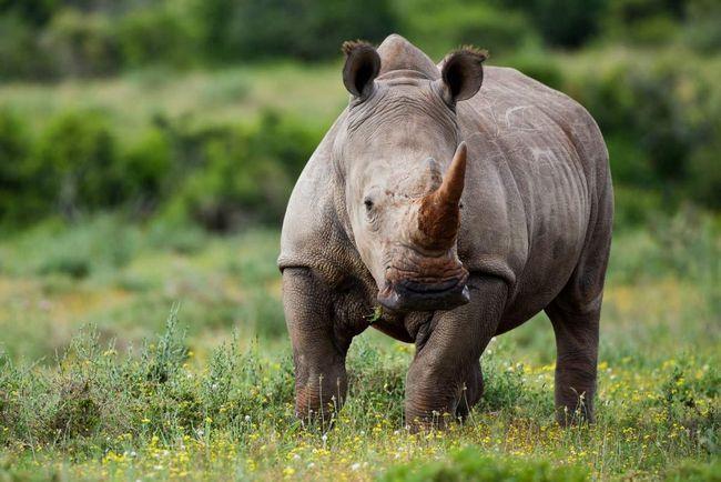 Носоріг - тварина з броньованим тілом.