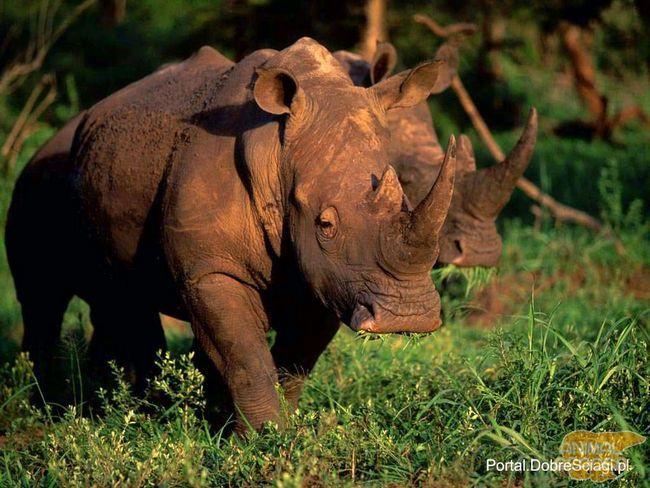 Африканський носоріг