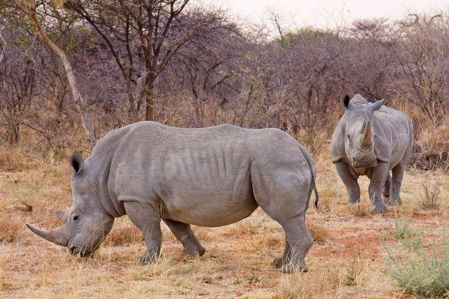 Носороги - масивні тварини.