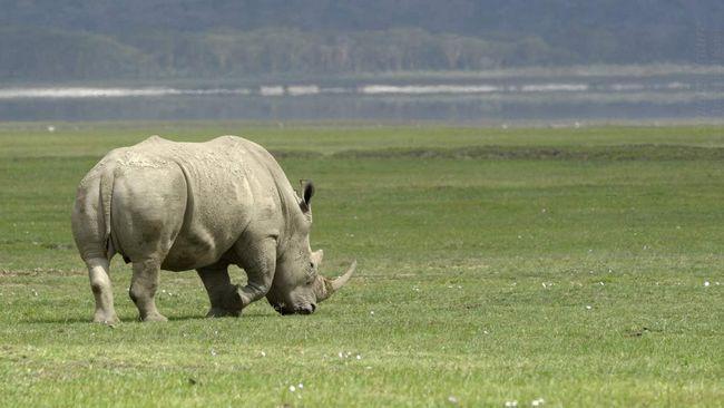 Носороги - травоїдні тварини.