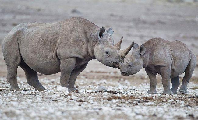 Картина, що викликає лише розчулення: малюк носоріг і його мама.