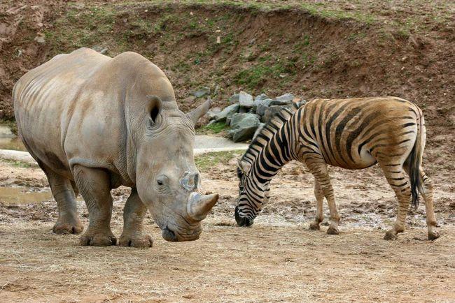 Носороги - миролюбні звірі, тому вони з легкістю сусідять з іншими травоїдними тваринами.