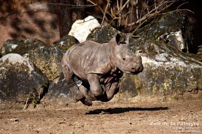 Якщо виникає необхідність, носоріг здатний розвинути велику швидкість, не дивлячись на свою вагу.
