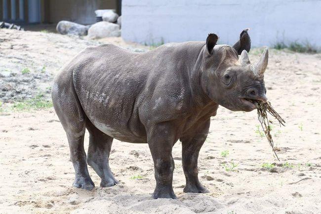 Шкіра у цих звірів дійсно товста.