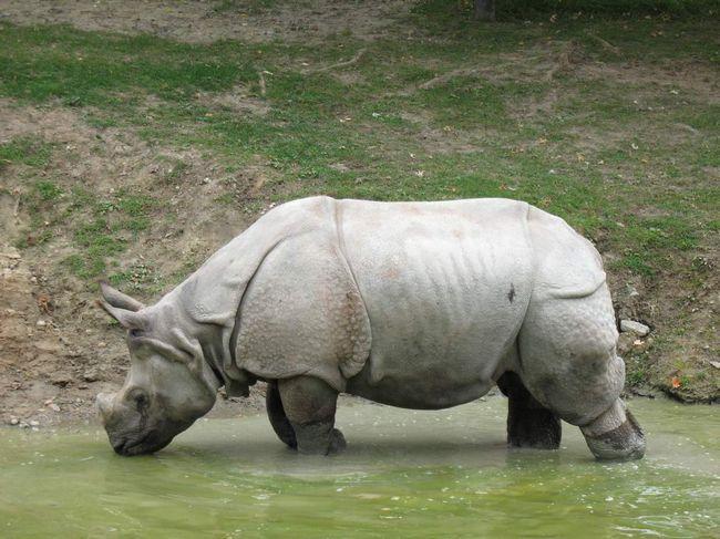 Товста шкіра не означає відсутність чутливості. У носорогів тут все якраз навпаки.