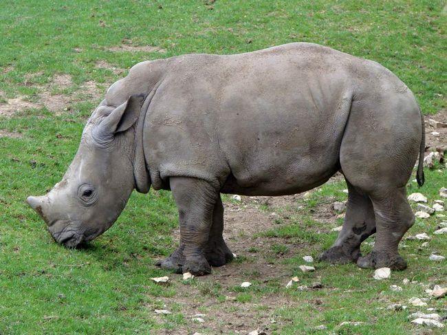 Білі носороги крупніше чорних.