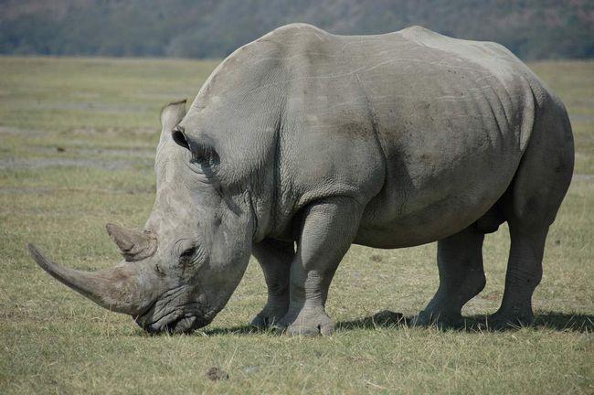 Деякі носороги досягають неймовірно великих розмірів.