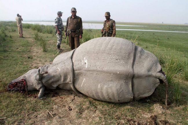 Хто підказав людям, що роги цього звіра можна застосовувати для виготовлення ножів? Через це носороги сьогодні знаходяться на межі вимирання!