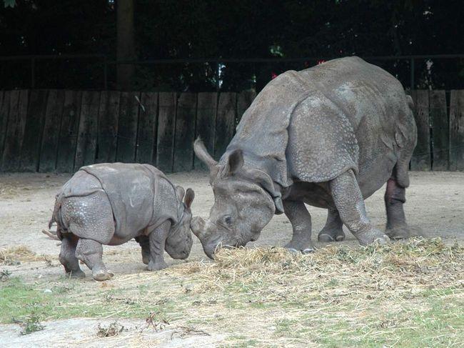 Дитинча носорога довгий час після народження залишається поруч зі своєю мамою.