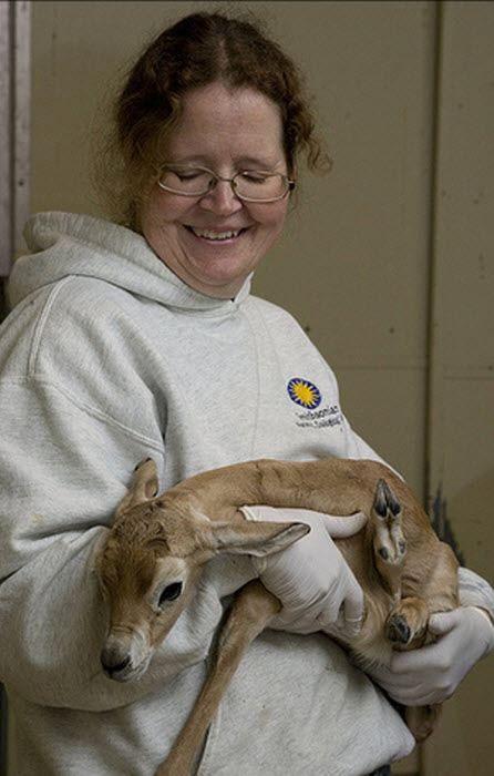 Новонароджена Сахари газель важила при народженні 4,99 кг.