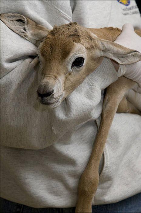 Сахару газель в список видів, що знаходяться на межі зникнення