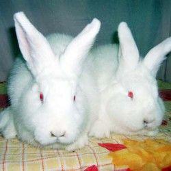 Новозеландська порода кроликів