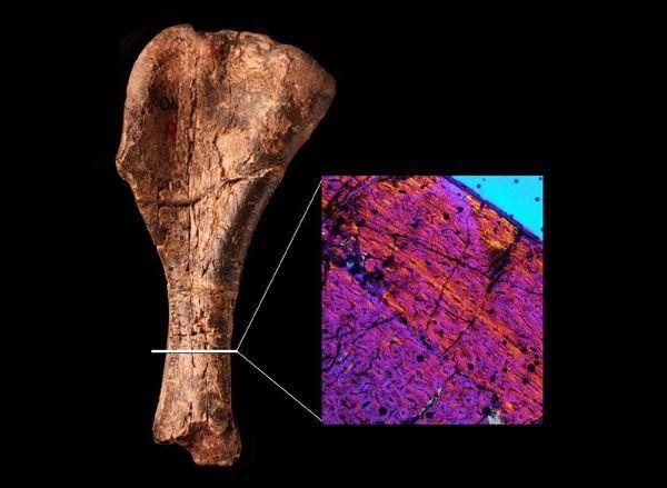 Волокна кістки погано організовані, що є характерною рисою ранніх динозаврів. (Зображення Natural History Museum.)