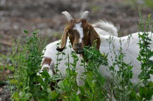 goats-017-feeding