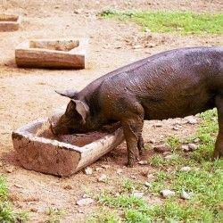 Про годування свиней