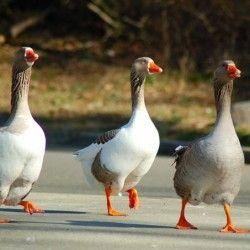 Про породах гусей