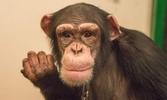 Шимпанзе налякала Волочкову.