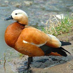 Проживання, харчування та розмноження червоних качок (огарь), поведінка в неволі