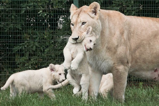 У Тбіліському зоопарку оголошений конкурс на кращі імена для левенят.