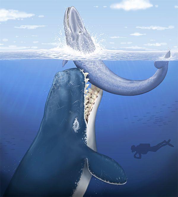 Древній кашалот нападає на дрібного вусатого кіта- силует аквалангіста дан для порівняння розмірів. (Ілюстрація авторів роботи.)