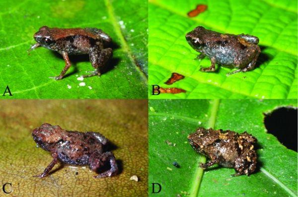 Жаби роду Paedophryne: (A, B) Paedophryne dekot, (C, D) P. verrucosa (фото Фреда Крауса).