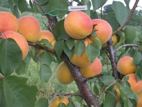 Обрізка абрикоса