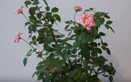 Обрізка кімнатної троянди, як і коли вона відбувається