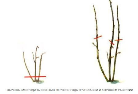 Obrezka_smorodiny_vesnoj_video_dlja_nachinajushhih_1