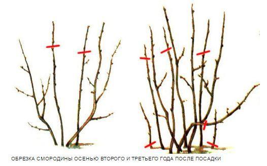 Obrezka_smorodiny_vesnoj_video_dlja_nachinajushhih_2