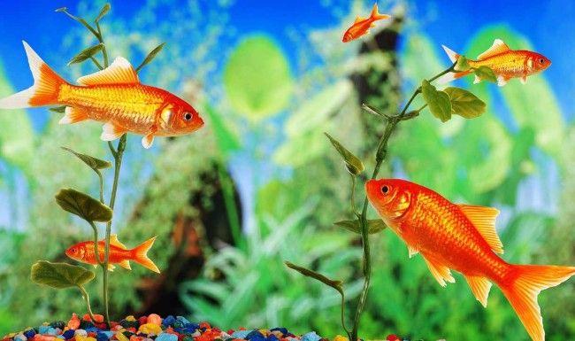 Догляд за рибками в акваріумі.
