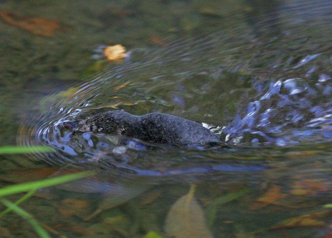 Звичайна кутора, або водяна землерийка (лат. Neomys fodiens)