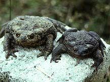 Сіра (звичайна) жаба фото