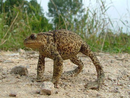 Сіра (звичайна) жаба обороняється фото