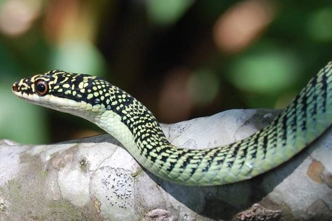 Звичайна прикрашена змія (Chrysopelea ornata).